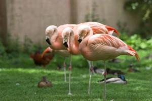 Фламинго в природните резервати на Коста Бланка